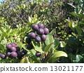 rhaphiolepis, umbellata, fruit 13021177