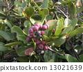 rhaphiolepis, umbellata, fruit 13021639
