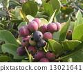 rhaphiolepis, umbellata, fruit 13021641