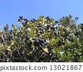 rhaphiolepis, umbellata, fruit 13021867