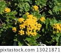 検見川 바닷가 해안 식물의 이소기쿠가 노란 꽃을 피 웠습니다 13021871