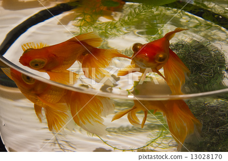 Goldfish 13028170
