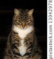 tabby, pet, domestic 13042978