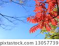 Clear blue sky and autumn leaves 13057739