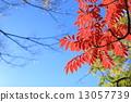 清楚的藍天和秋葉 13057739