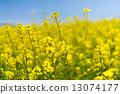 일면의 유채 꽃 13074177
