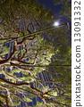 雪吊 松樹 六義花園 13091332