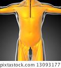 shoulders, muscle, medical 13093177