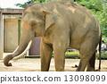 大象 亞洲象 哺乳動物 13098099