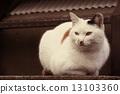 a cat, cat, calico cat 13103360