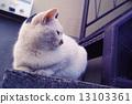 แมวคาลิโค,แมว 13103361