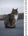 เสือ,การนั่ง,แมว 13103364