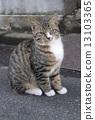 เสือ,การนั่ง,แมว 13103365
