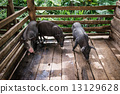 豬 骯髒的 年輕 13129628