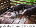 豬 年輕 骯髒的 13129632