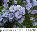 Michaelmas, daisy, bloom 13134284