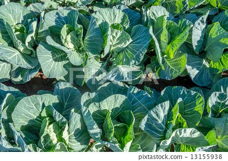 Cabbage field 13155938