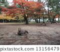 奈良公园 鹿 枫树 13156479