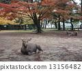 奈良公园 鹿 枫树 13156482