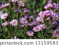 Michaelmas, daisy, bloom 13159583