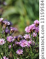 Michaelmas, daisy, bloom 13159584