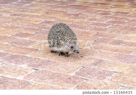 hedgehog 13160435