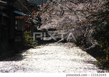 櫻花 13162049