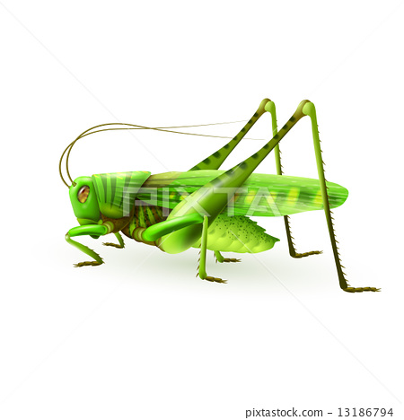 Grasshopper realistic isolated 13186794