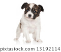 Continental toy spaniel puppy 13192114