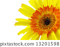 Close up Yellow gerbera flower on white background 13201598