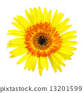 Gerbera flower isolated on white background 13201599