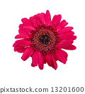 Gerbera flower with water drop isolated on white background 13201600