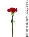 red carnation flower isolated on white background 13201601