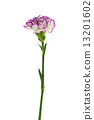 purple and white carnation flower isolated on white background 13201602