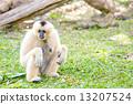 ลิง,ค่าง,สัตว์ 13207524