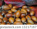 ubame, oak, acorn 13217167