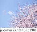 樱花(空背) 13221984