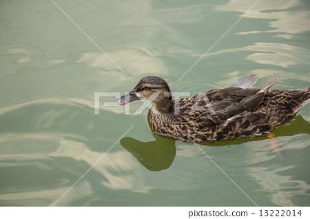 池塘裡的鴨子 13222014
