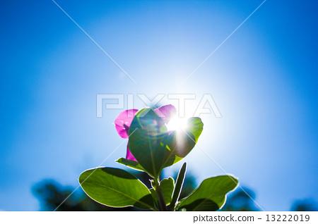 藍天豔陽下逆光的花朵 13222019