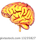 cerebellum biology brain 13235827