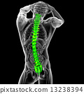 3d render medical illustration of the human spine 13238394