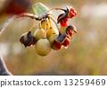 种子 物种 海桐 13259469