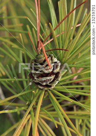 자연 식물 금송 열매입니다. 솔방울에 고스란히이지만 왠지 열매의 끝에서 잎이 나와 있습니다 13259701