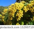 検見川 바닷가 해안 식물의 이소기쿠가 노란 꽃을 피 웠습니다 13260719