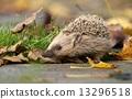多刺的 刺猬 动物 13296518