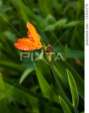 Blackberry Lily aka Iris domestica (Belamcanda chinensis) 13303179