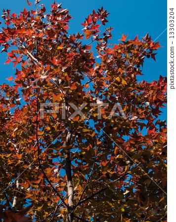 Autumn Leaves 13303204