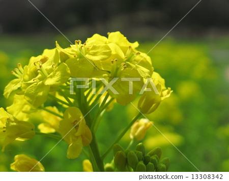 Spring Asuka 13308342