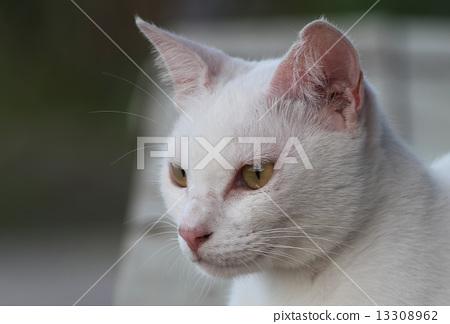 白貓 13308962