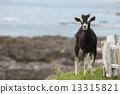 一隻山羊 13315821